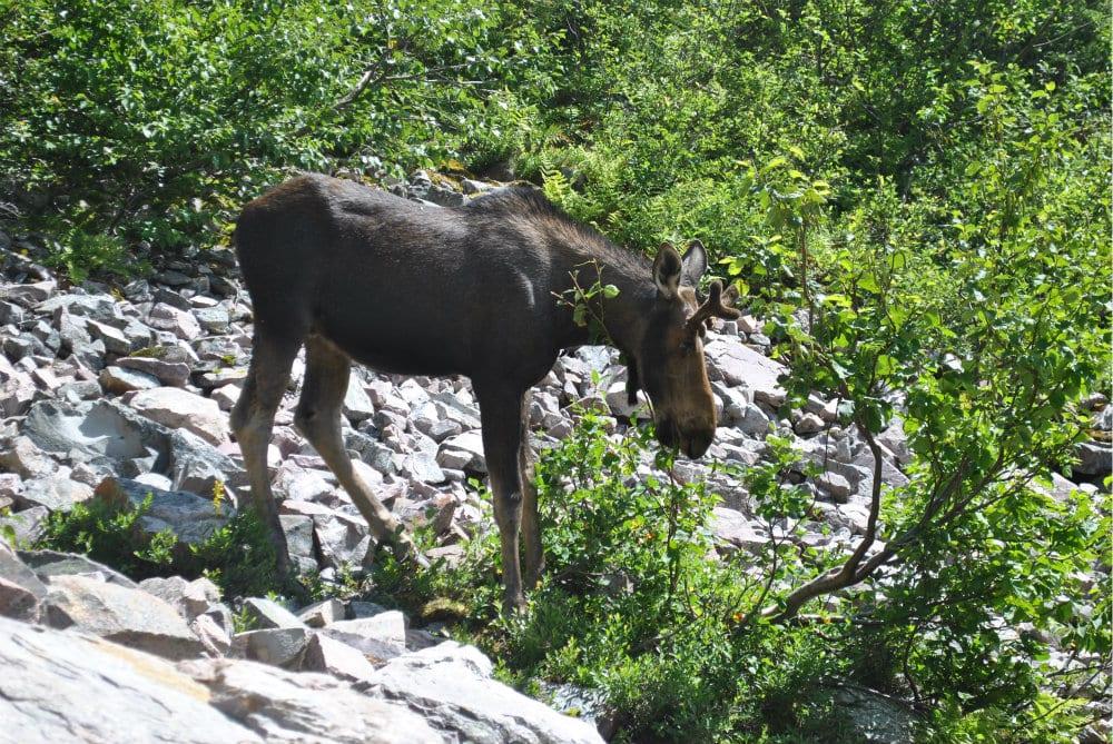 Gros Morne Moose