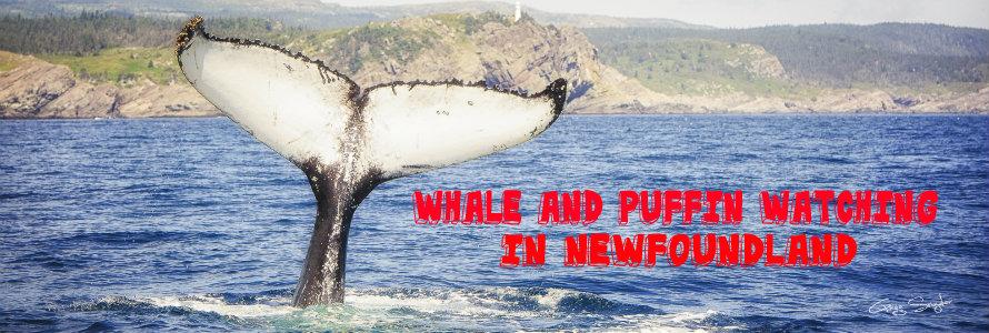 humpback whales newfoundland