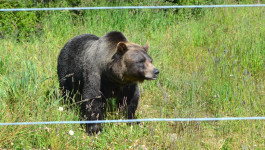 Mountain Biking and Grizzly Bears at Kicking Horse Resort