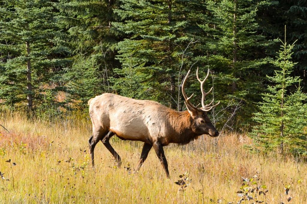 Elk Jasper National Park