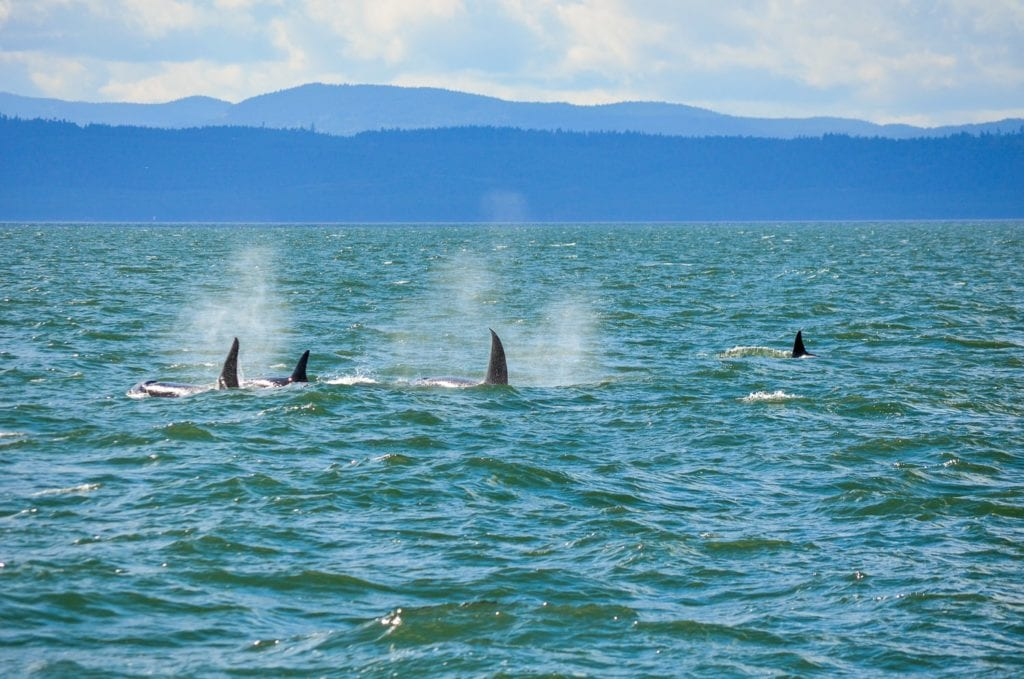 killer whales vancouver