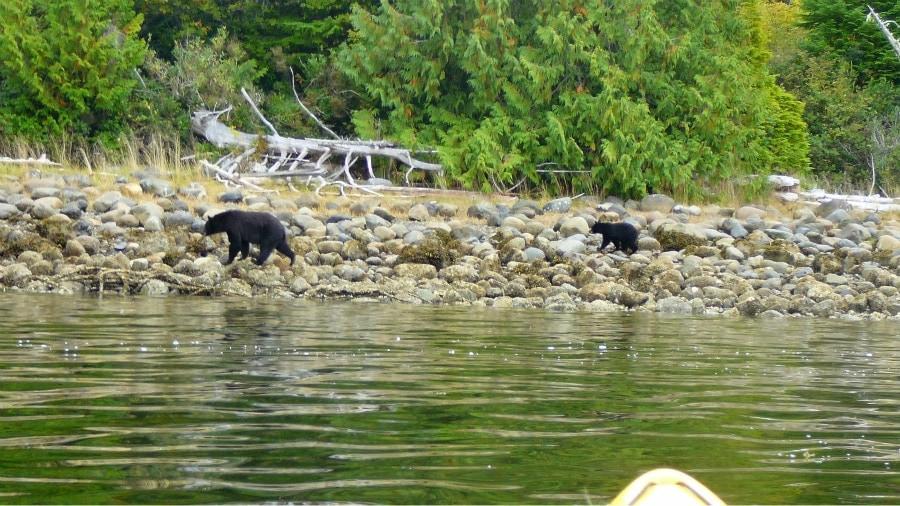 Bear Watching Vancouver Island