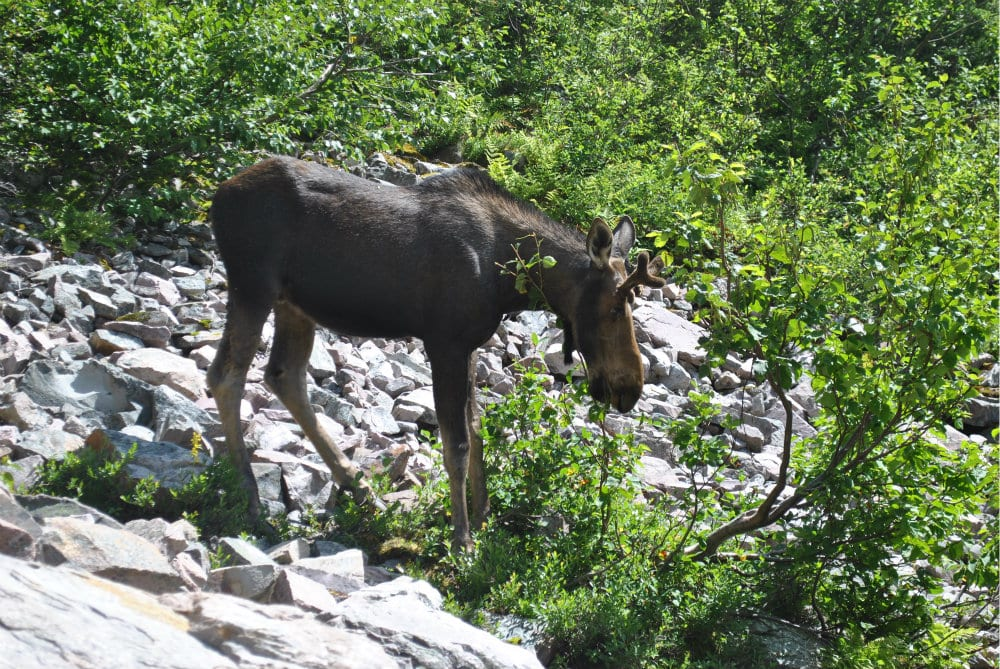 Gros Morne Moose
