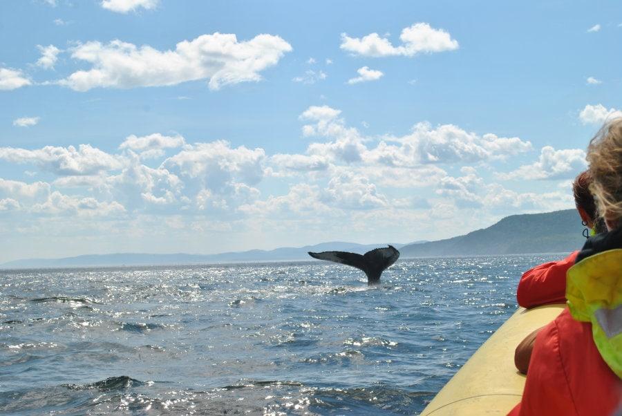 Humpback whales tadoussac quebec