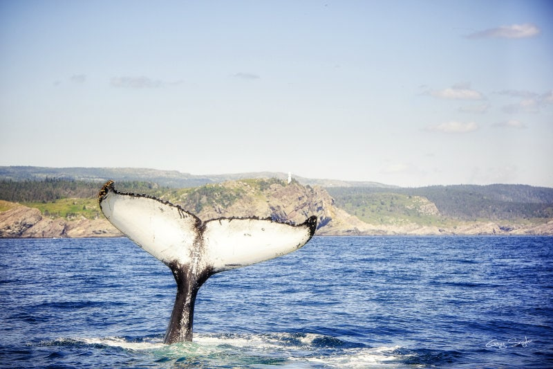 Whale Watching Newfoundland