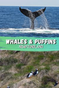 Whales & Puffins in Newfoundland