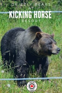 See a grizzly bear at Kicking Horse Resort