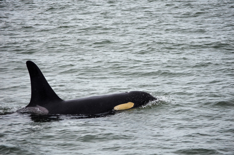 Orcas en Vancouver, Canadá 3.0