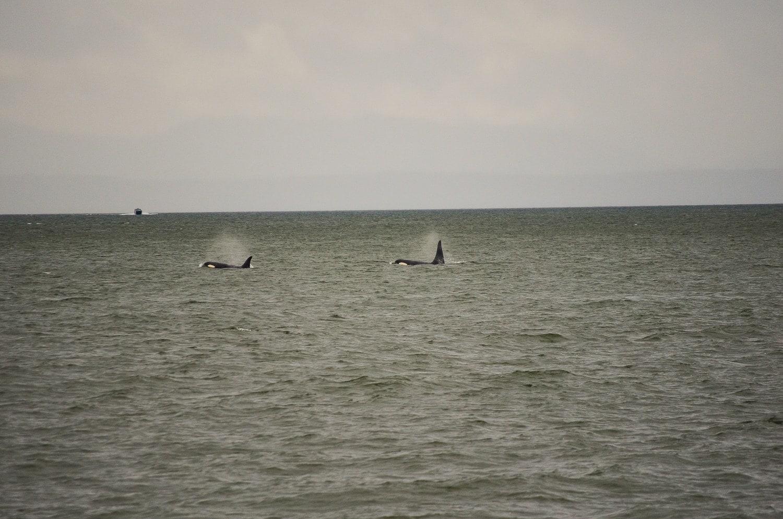 Orcas en Vancouver, Canadá 5.0