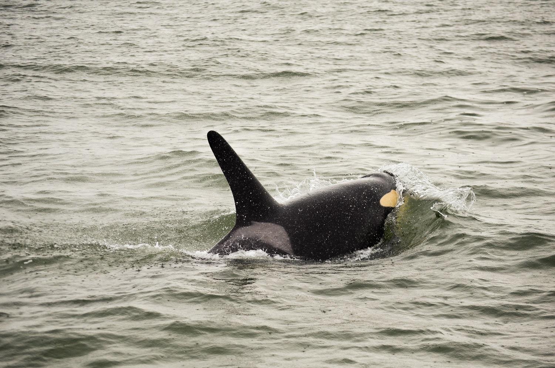 Orcas en Vancouver, Canadá 2.0