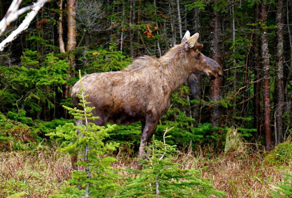 Moose-Newfoundland