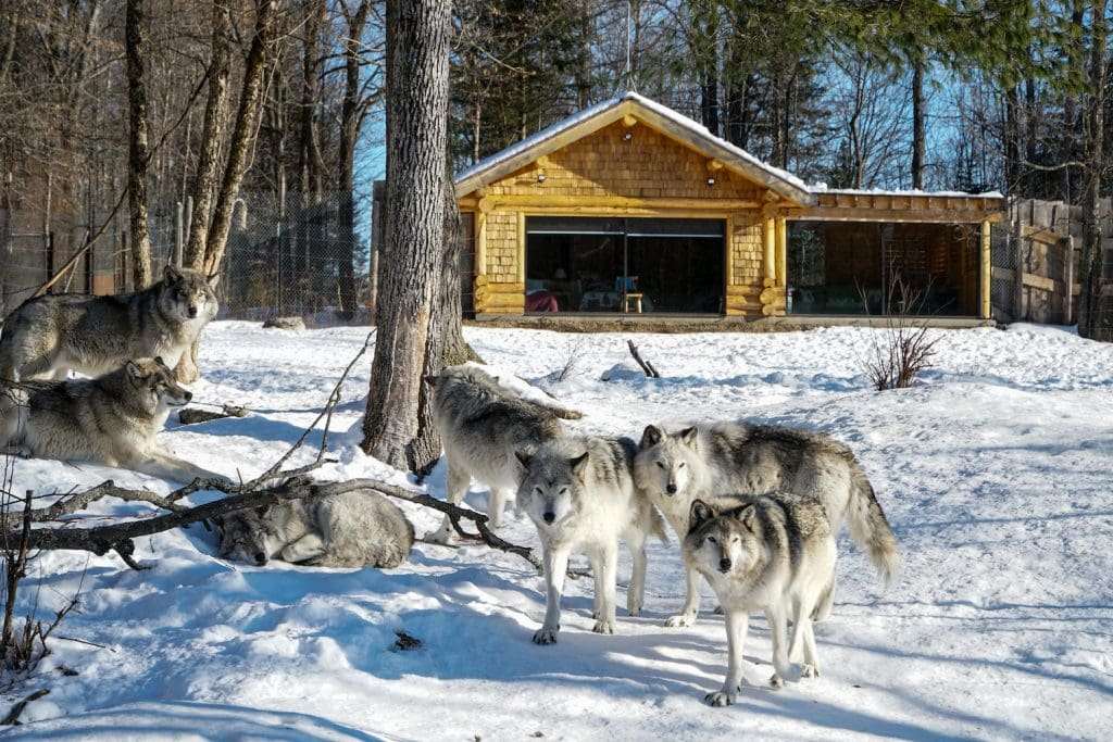 Parc Omega Winter Wolf Cabins