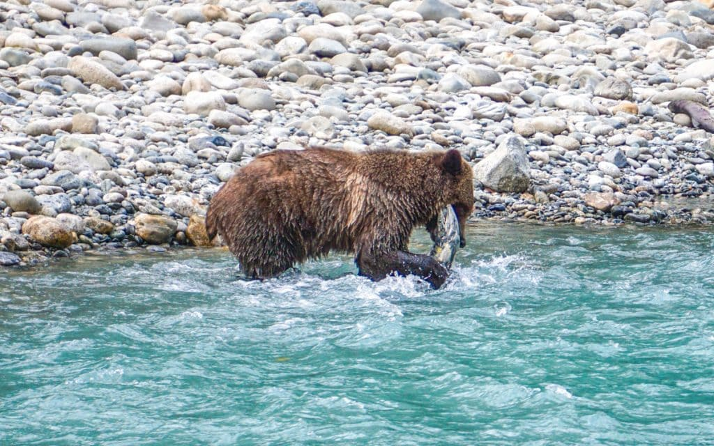 Grizzly Bear eating Salmon in British Columbia