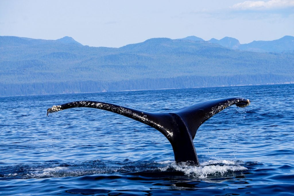 Humpback whale tale, British Columbia