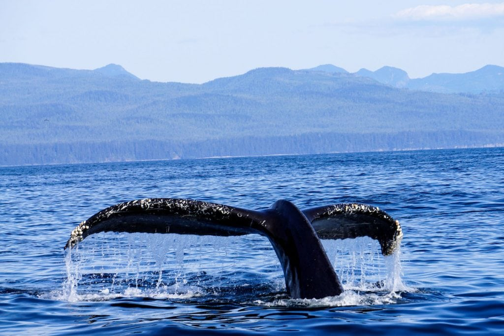 humpback whale watching in Canada