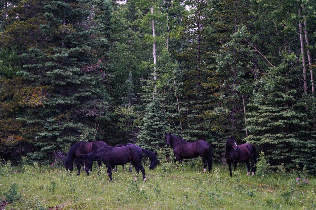 Wild Horses Nordegg Alberta