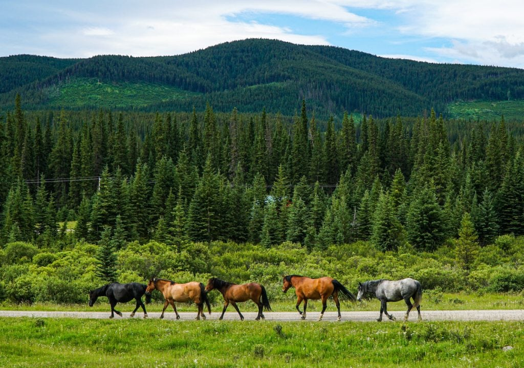 wild horses of sundre alberta and ya ha tinda ranch