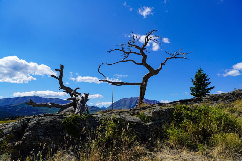 Burmis Tree Crowsnest Pass Alberta