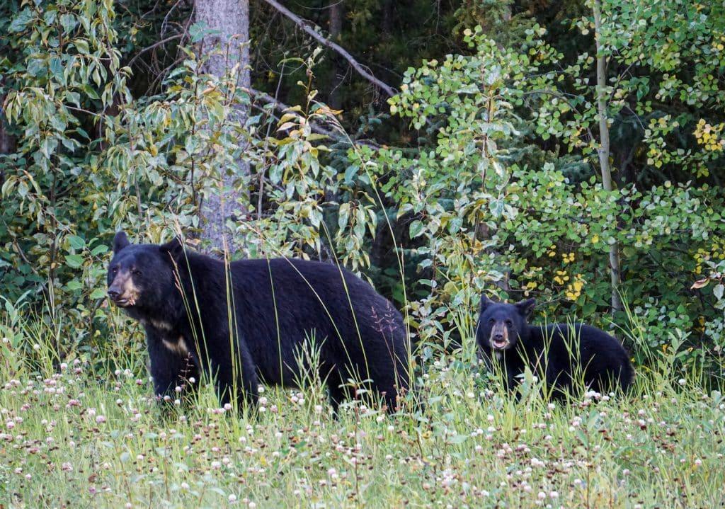 Yukon wildlife black bears