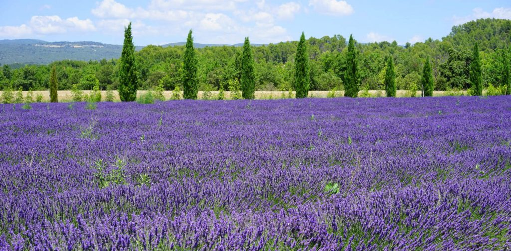 Lavender Fields 1024x504
