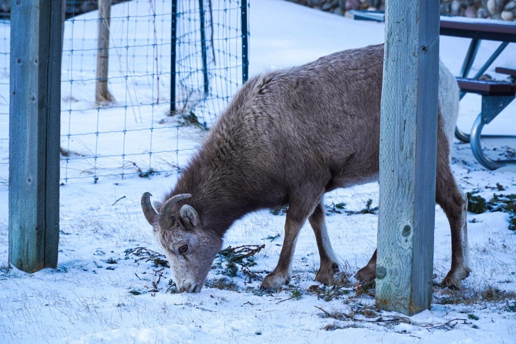 Wildlife in Waterton Lakes National Park