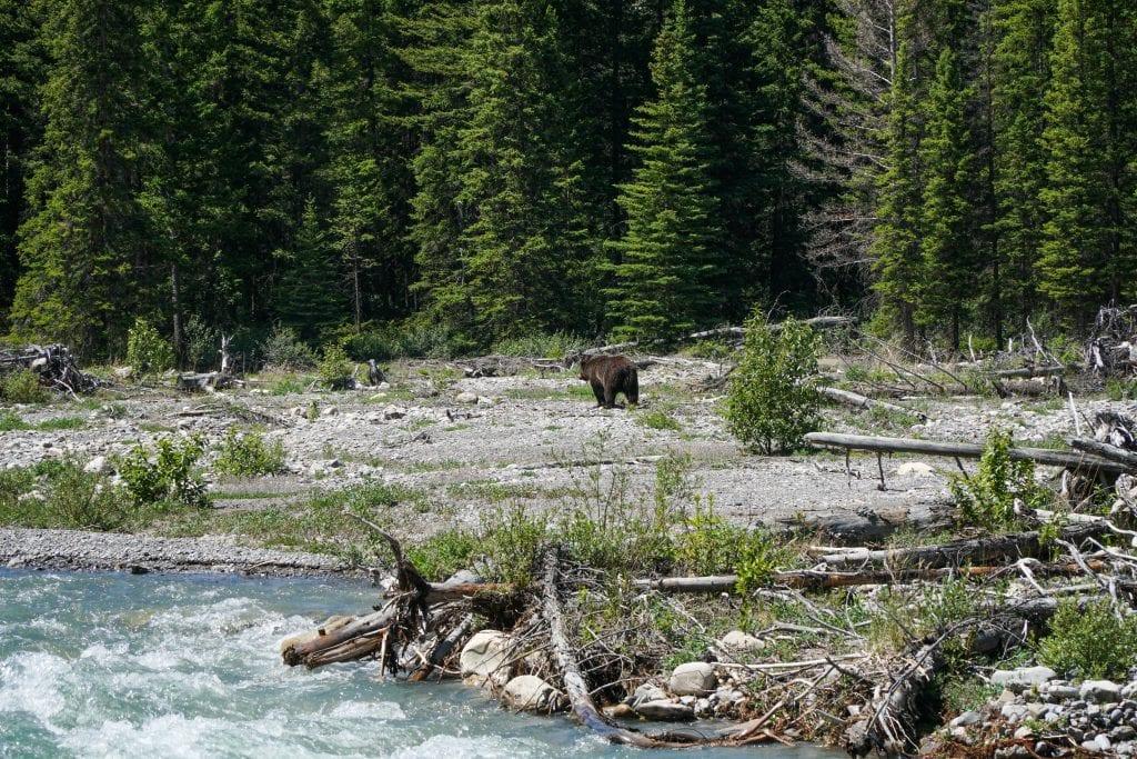 Grizzly Bear Banff 1024x683