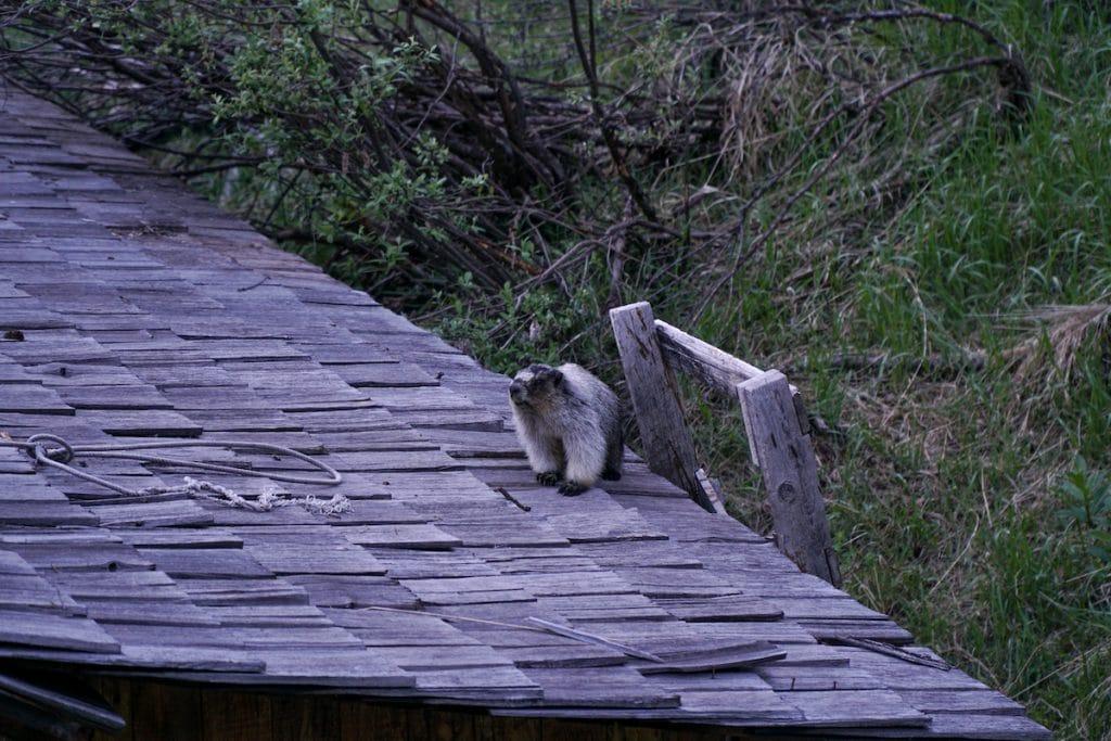 Hoary Marmots.